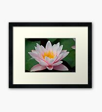 water lily over green leafs Framed Print