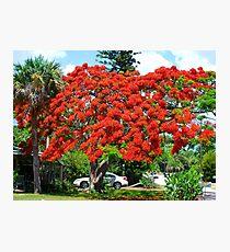 Royal Poinciana Tree Photographic Print