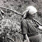 Grape Harvest by phil decocco