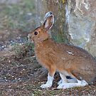 Snowshoe hare (Lepus americanus) in Spring by Jim Cumming
