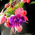 Spring Flowers-Fuscia   ^ by ctheworld