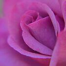 Autumn Rose by Brian Bo Mei