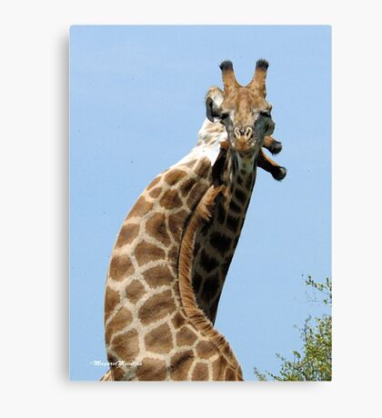 WHEN GIANTS COLLIDE - GIRAFFE – Giraffa Camelopardalis (KAMEELPERD) Canvas Print