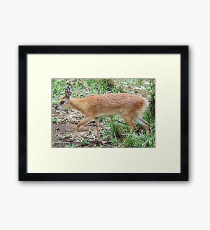 THE TINY, SHY, SHARPE'S GRYSBOK – Raphicerus sharpie Framed Print