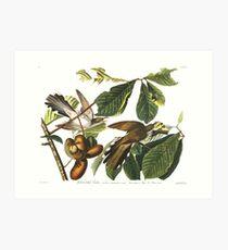 Yellow-billed Cuckoo  - John James Audubon Art Print