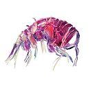 Popart Amphipod by MicrocosmFilm