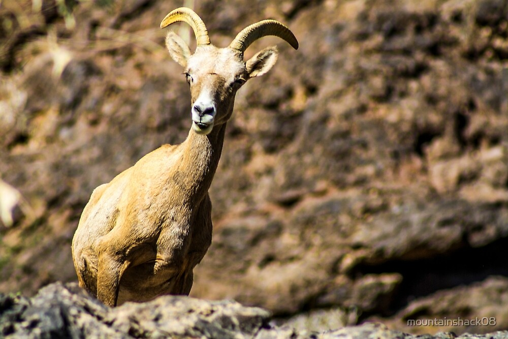 Long Horn Sheep by mountainshack08