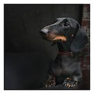 Black Dachshund by Val Goretsky