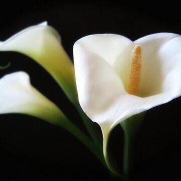 Elegant Calla Lily Flowers 9 by TravelPhotoArt