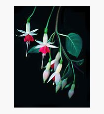 Shaded Fuschias Photographic Print