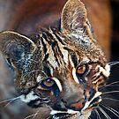 Asian Golden Cat by Stuart Robertson Reynolds