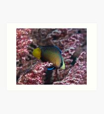 Spotted Dottyback Art Print