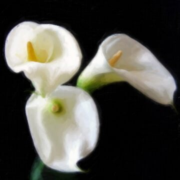 Elegant Calla Lily Flowers 6 Painterly by TravelPhotoArt