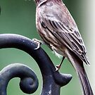 Patrick Purple Finch by Polly Peacock