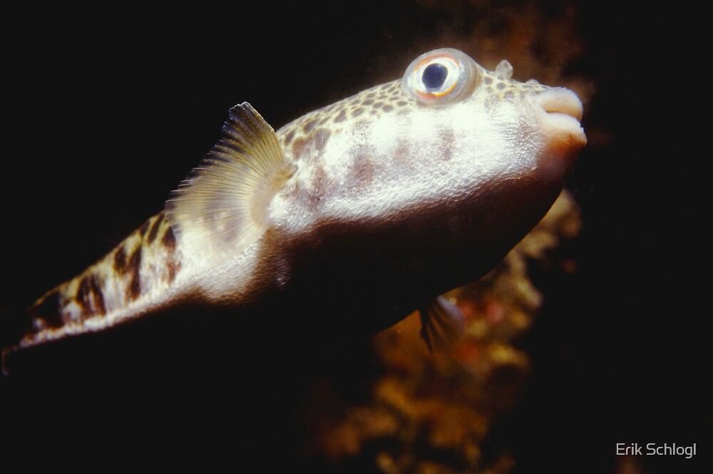 Common Toadfish by Erik Schlogl