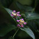 Lantana sp. by richeriley