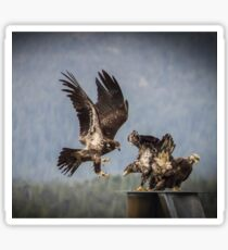 3 Young Bald Eagles Sticker