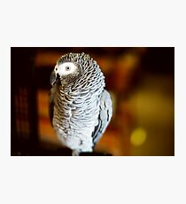 Congo African grey parrot also named jaco Photographic Print