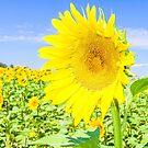 Sunflower field by gianliguori