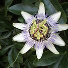 Passion Flower by Barry Norton