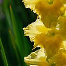 yellow gladiolus  by Manon Boily