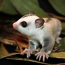 Sugar Glider playing in leaves by Doty