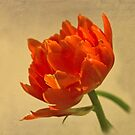 Orange Tulip by jacqi