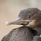 Cape Cormorant  by Shaun Colin Bell