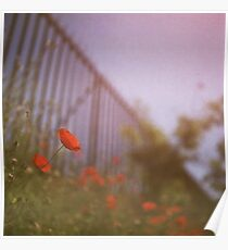 Poppies growing up fence in hot summer faded vintage retro square Hasselblad medium format film analog photo Poster
