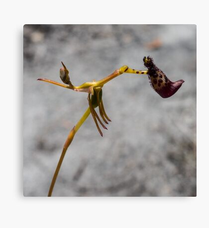 Warty Hammer Orchid Canvas Print
