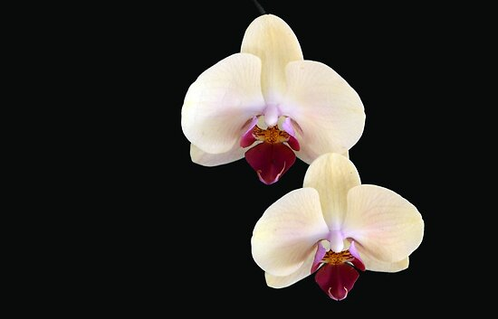 Two of a Kind - orchid flower by Jenny Dean