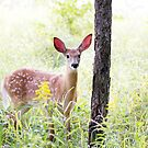 Fawn - White-tailed deer by Jim Cumming