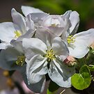 Apple Blossoms by Philip Northeast