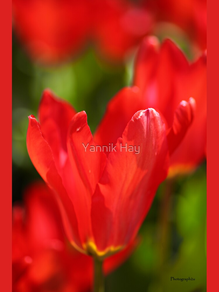 Red Tulips by Photograph2u