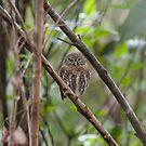 Cuban pygmy owl by Erland Howden