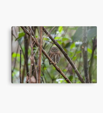 Cuban pygmy owl Canvas Print