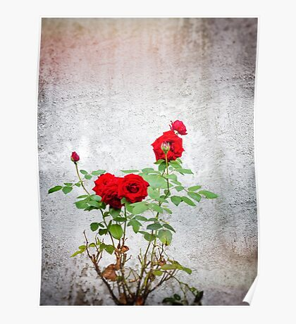 Red roses against wall Poster