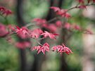 Japanese Maple by yolanda