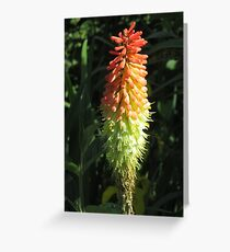 Red Hot Poker Greeting Card