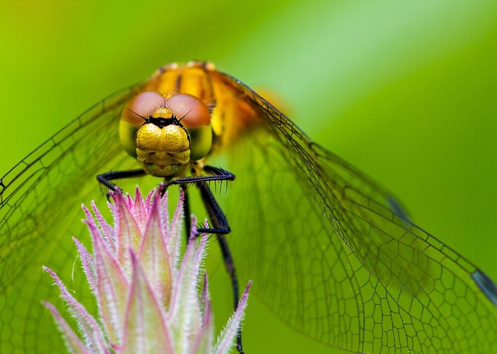 Dragonfly by chris2766