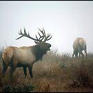 Tule Elk Bugling by Lynn Starner