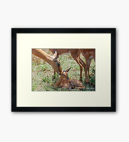 LOVE YOU BABY -  IMPALA  - Aepyceros melampus petersi Framed Print