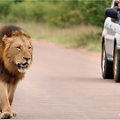 THE ULTIMATE EXPERIENCE IN KRUGER - THE LION - Panthera leo  by Magriet Meintjes