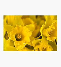 Yellow Daffodils Photographic Print