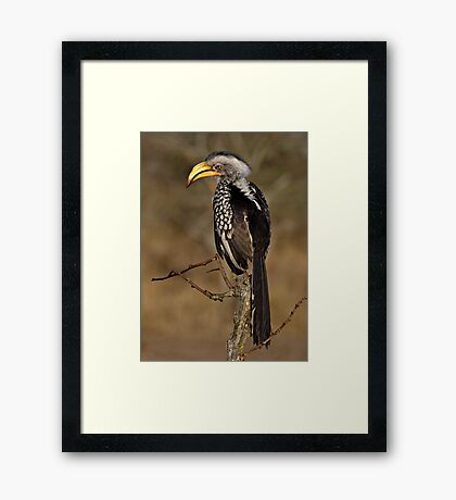 Yellow Billed Hornbill Framed Print