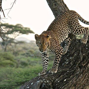 Leopard in the tree by JonoBoyd