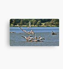 Pelicans & Sail Boat Canvas Print