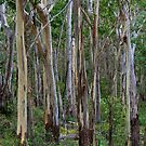 Mt Kaputar Trees by Elizabeth McPhee