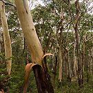 Trees on Mt Kaputar by Elizabeth McPhee