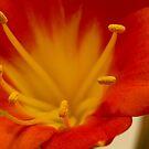 Orange Clivia Lily - Macro by Sandra Foster